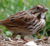 Santa Barbara song sparrow