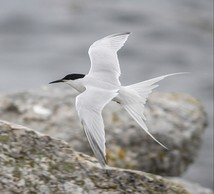 Roseate tern, northeastern DPS