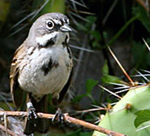 San Clemente Bell's sparrow